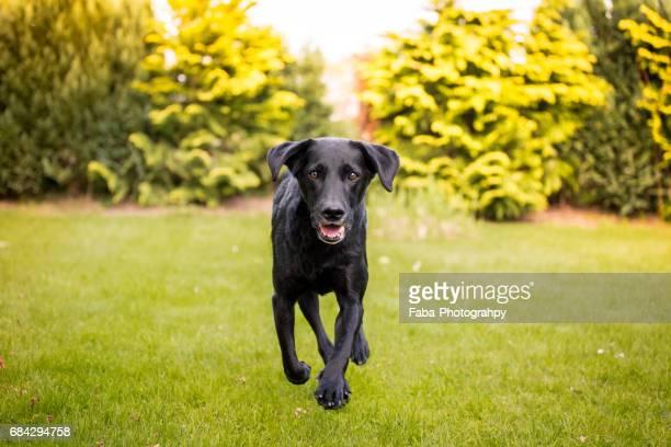 labrador is running - niedlich stockfoto's en -beelden