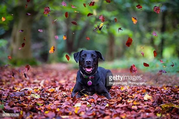 A Labrador laying amongst autumnal leaves