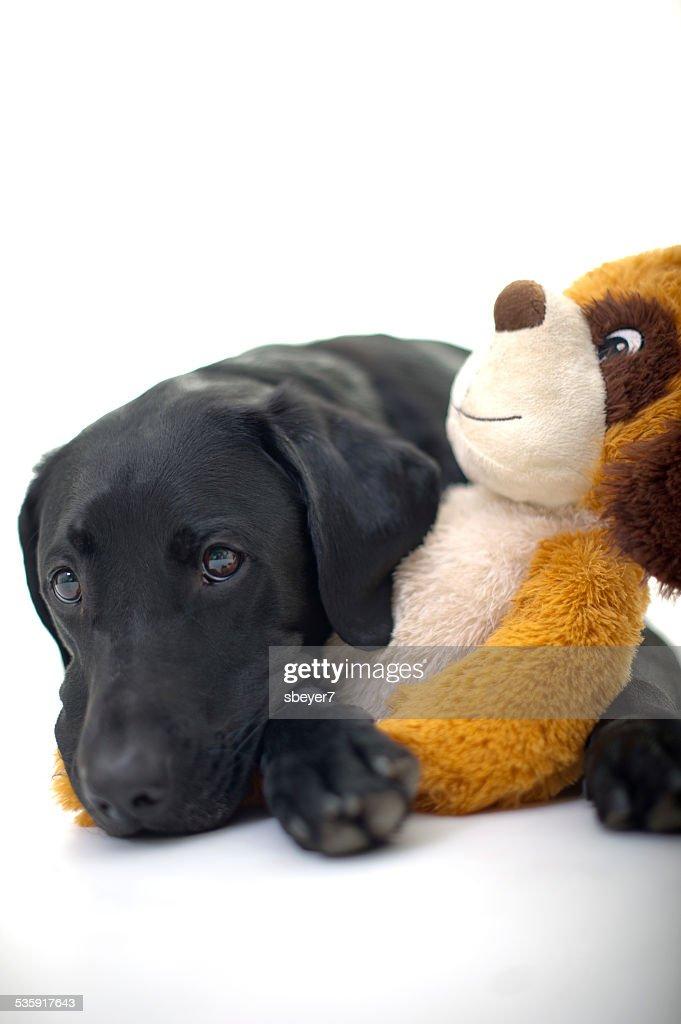 Labrador establecer con juguetes blandos : Foto de stock