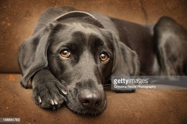 labrador looking into camera - black labrador stock pictures, royalty-free photos & images
