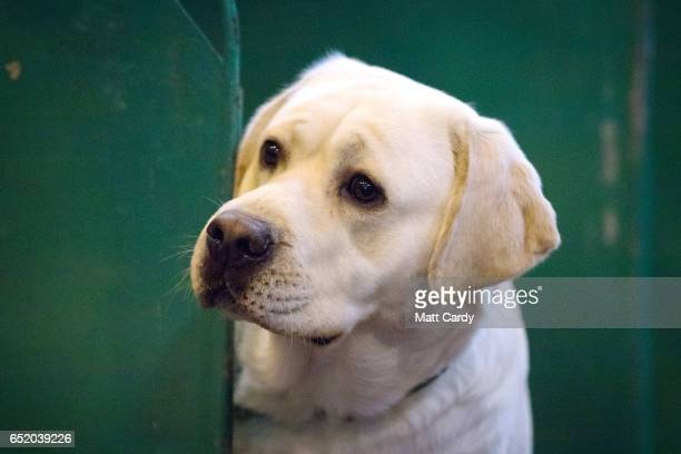 A Labrador looks out from its bench on the third day of Crufts Dog Show at the NEC Arena on March 11 2017 in Birmingham England First held in 1891...