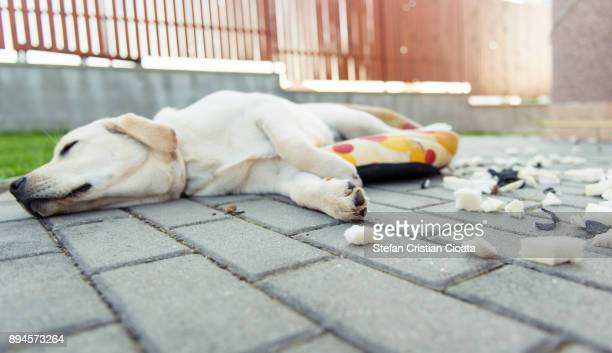 Labrador Messthetics