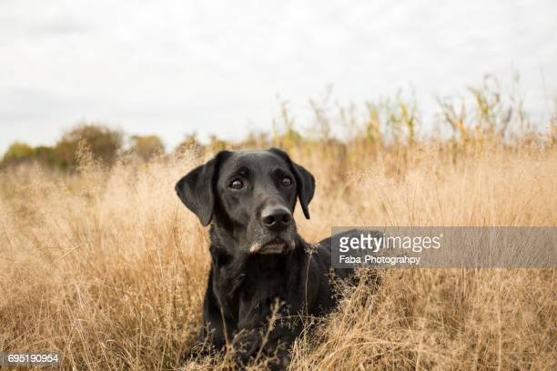 Labrador outside in the nature