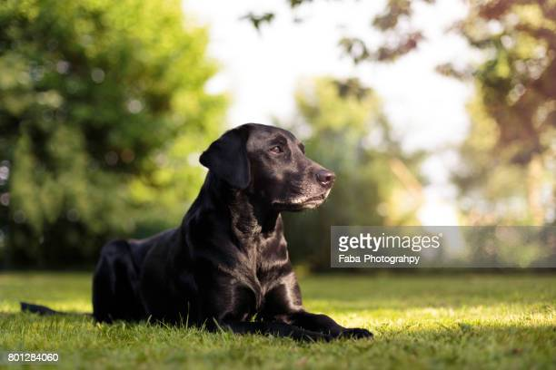 A Labrador Outside