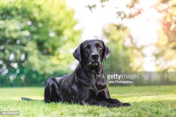 A Labrador Outside
