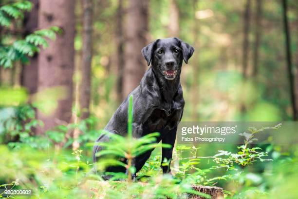 labrador outside - black labrador stock pictures, royalty-free photos & images