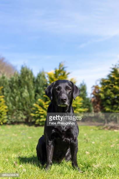 labrador - vitalität stock pictures, royalty-free photos & images