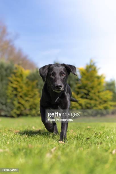 labrador - vitalität stockfoto's en -beelden