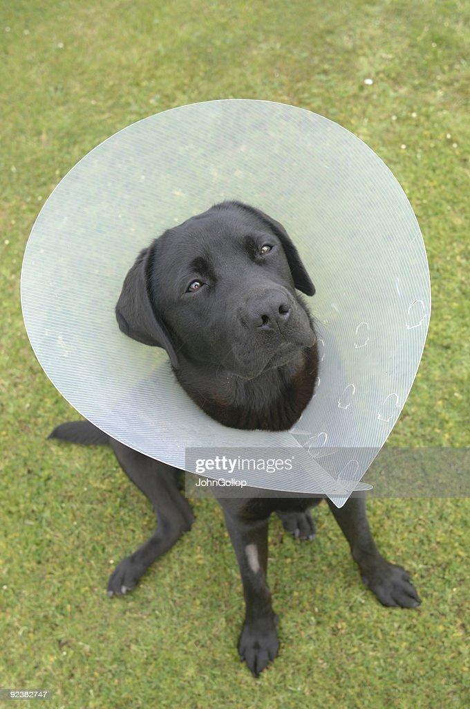 Labrador : Stock Photo