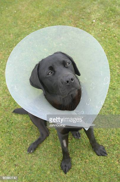 labrador - elizabethan collar stock photos and pictures