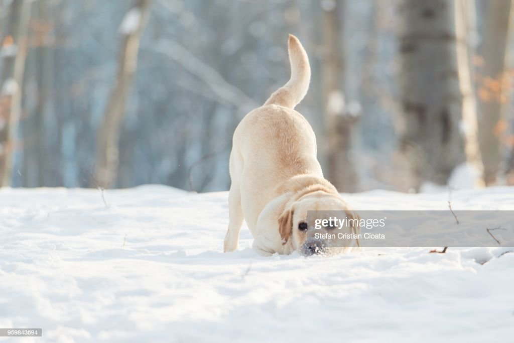 Labrador playing in snow at winter Cluj-Napoca, Romania : Stock-Foto