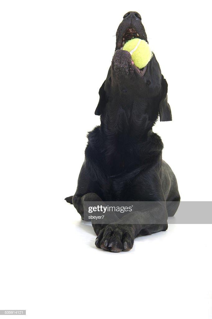 Labrador brincando com Bola de Ténis : Foto de stock