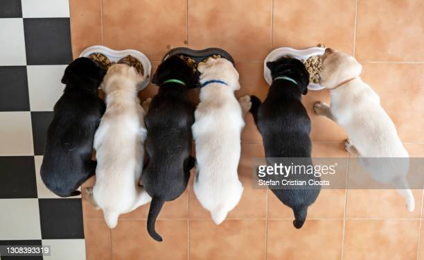 labrador puppies eating. aerial view - large group of animals stock pictures, royalty-free photos & images