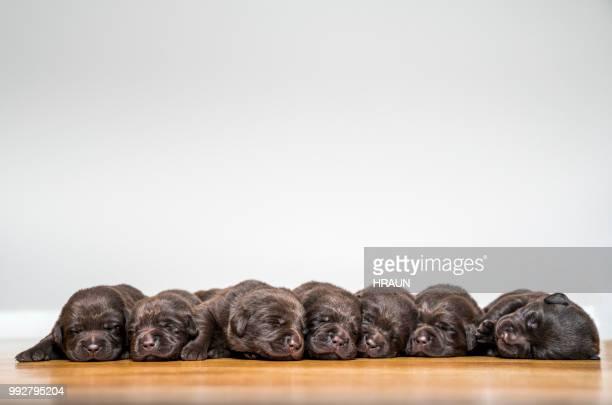 cachorros de labrador tendido contra fondo blanco. - grupo mediano de animales fotografías e imágenes de stock