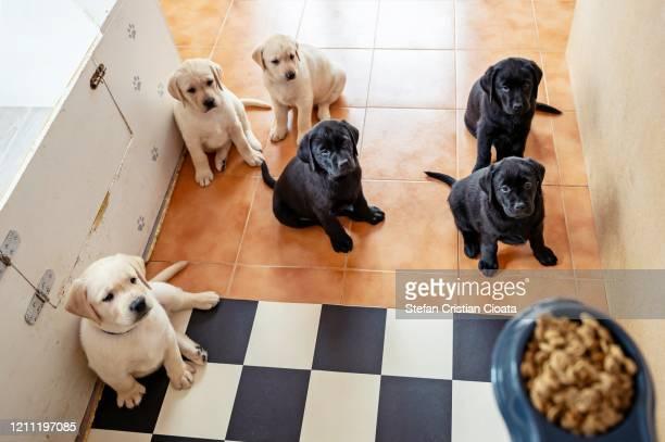 labrador puppies waiting for food - cristian neri foto e immagini stock