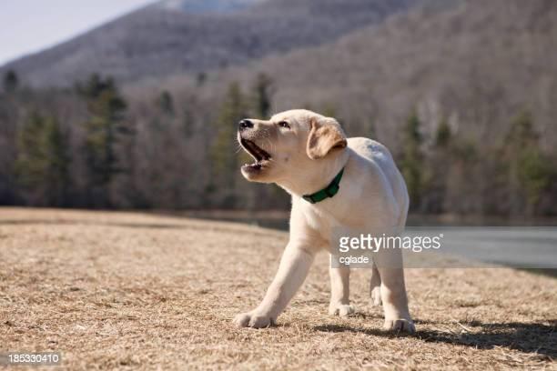 A Labrador puppy barking outside