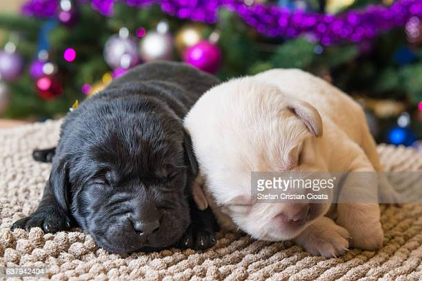 Labrador puppy brothers