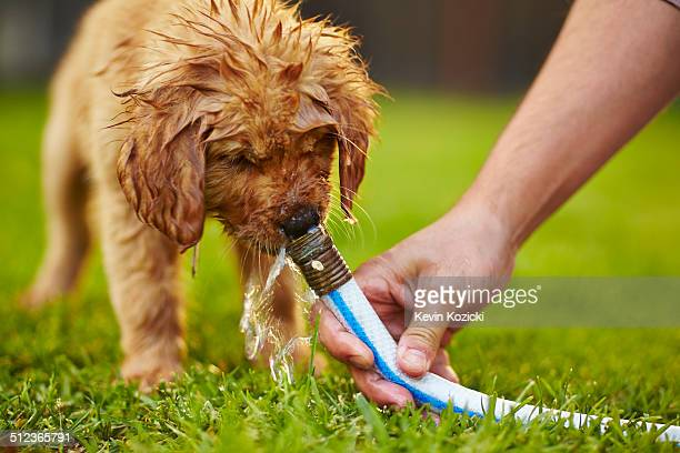 Labrador puppy drinking from garden hose