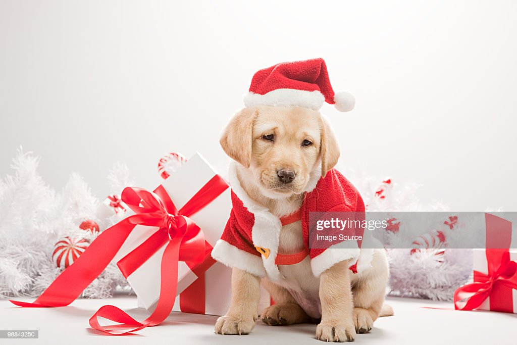 Labrador puppy in christmas costume : Stock Photo
