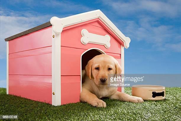 Labrador puppy in kennel