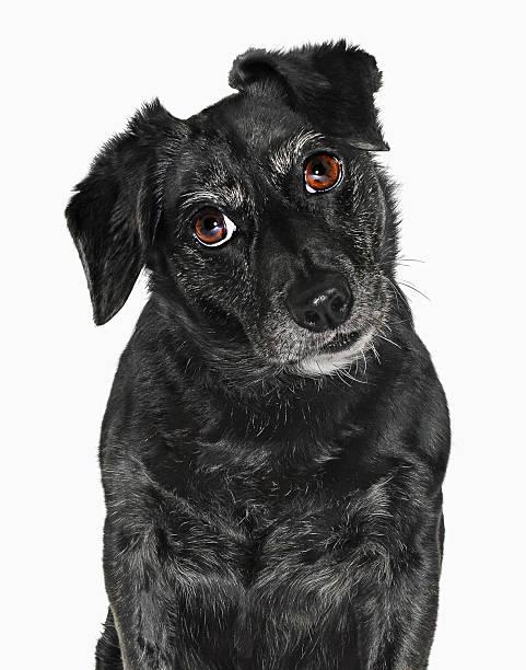 Labrador Puppy Wall Art