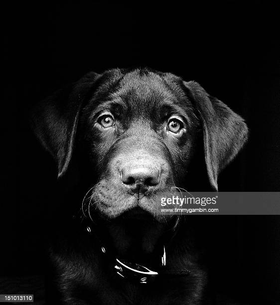 labrador puppy - www images com stock photos and pictures
