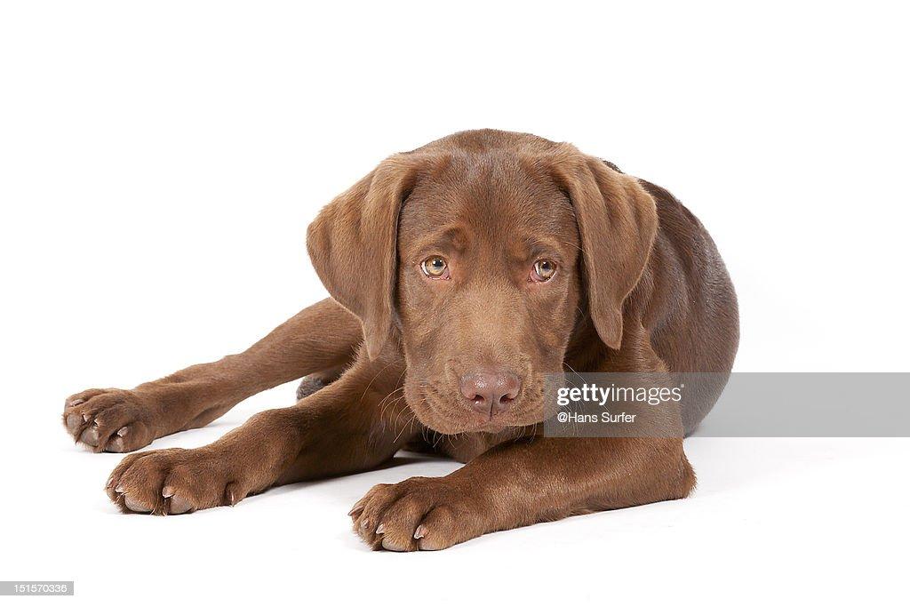 Labrador puppy : Bildbanksbilder