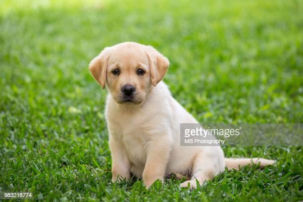 labrador puppy - labrador retriever stock pictures, royalty-free photos & images