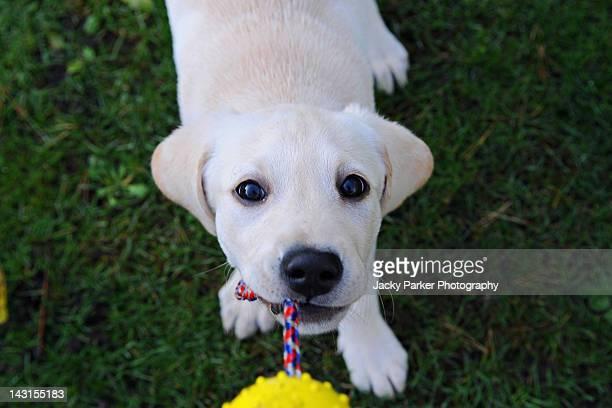 Labrador Puppy playing tug of war