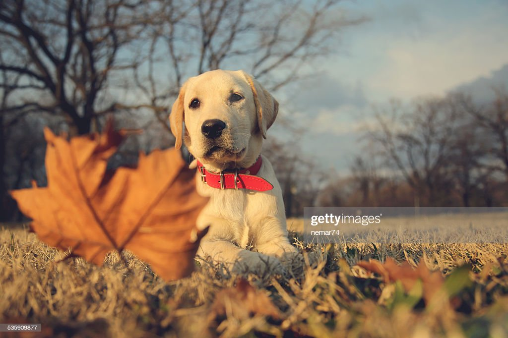 Labrador Puppy Sitting Near Leaf Vintage Retro Instagram Filter : Stock Photo