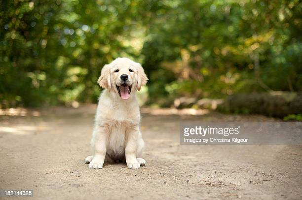 Labrador Puppy Sitting On A Woodland Path