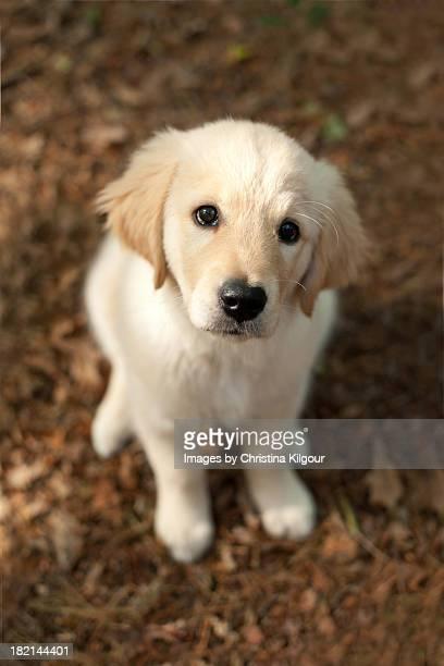 Labrador Puppy Sitting