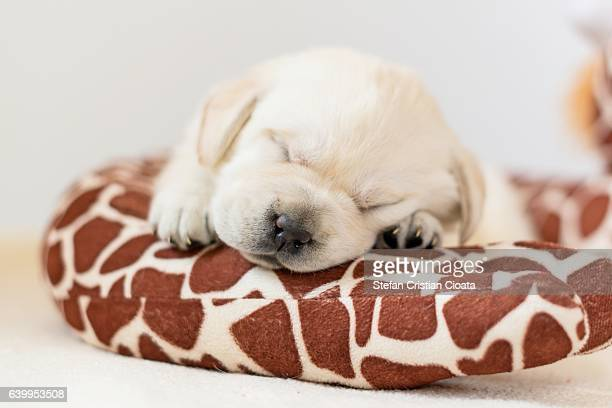 Labrador puppy sleeping on a toy