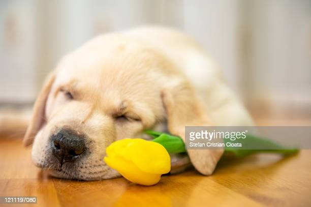 labrador puppy sleeping - cristian neri foto e immagini stock