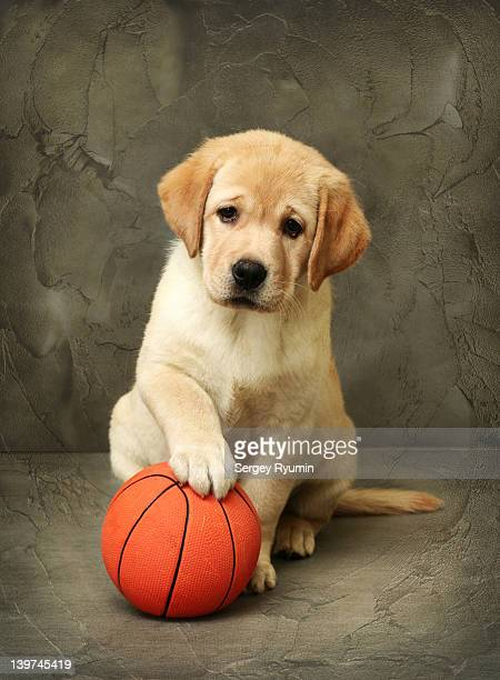 Labrador puppy with red ball