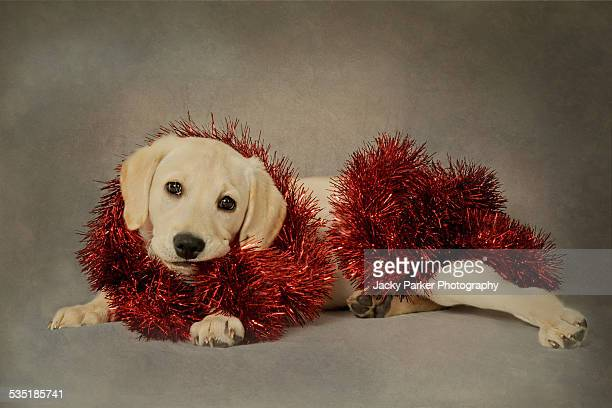 Labrador Puppy with Red Tinsel