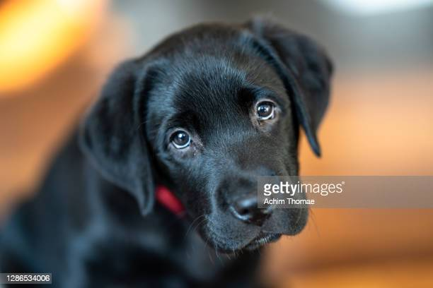labrador retreiver - puppies stock pictures, royalty-free photos & images