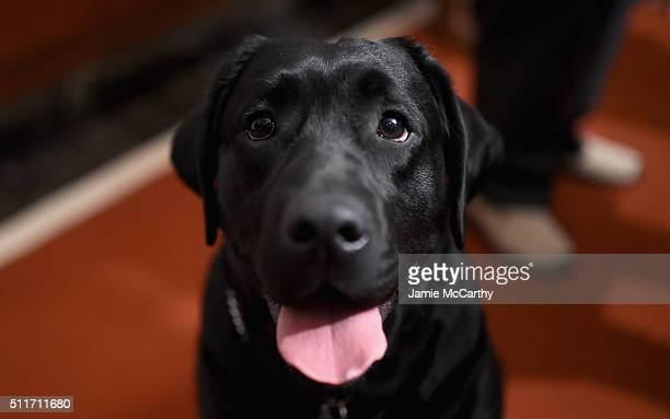 A Labrador Retriever attends the American Kennel Club Presents The Nation's Most Popular Breeds Of 2015 at AKC Headquarters on February 22 2016 in...