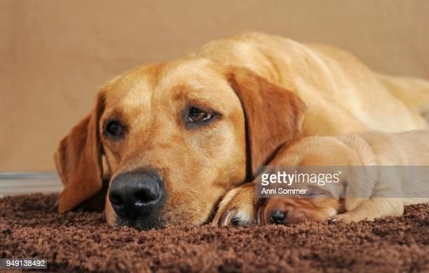 Labrador Retriever, bitch with puppy, 8 days, yellow