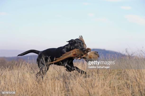 Labrador Retriever, black, young male, retrieving pheasant (Phasianus colchicus), Austria