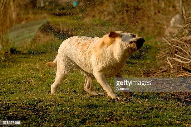 Labrador retriever Canis familiaris beginning to shake itself after coming out of water