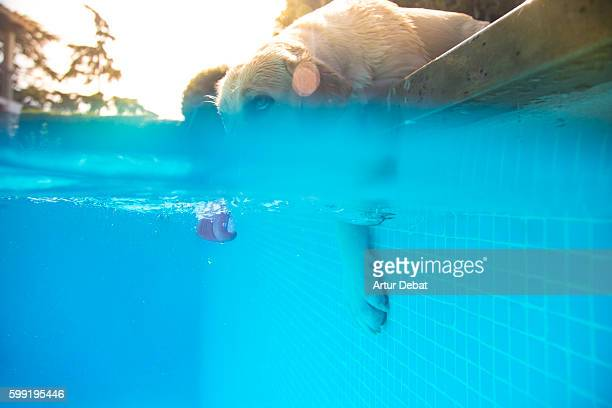 Labrador Retriever dog drinking water from the swimming pool in the home backyard cooling off on summer hot day with underwater view with tongue detail.