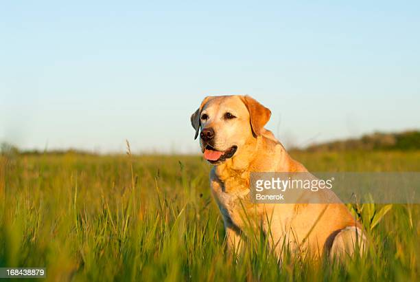 Labrador retriever dog in a grassy field