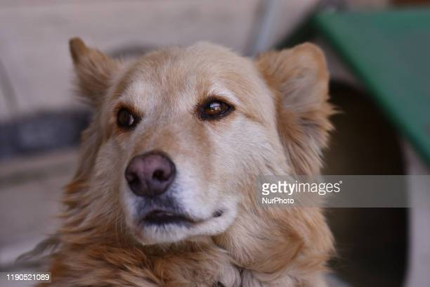 A Labrador Retriever dog is seen resting in the backyard of a house on December 25 2019 in Mexico City Mexico It is a dog breed native to...