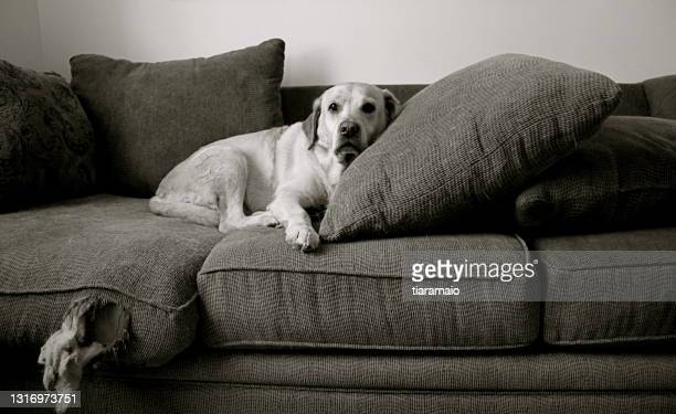 labrador retriever dog lying on an old ripped sofa - caught in the act stock pictures, royalty-free photos & images