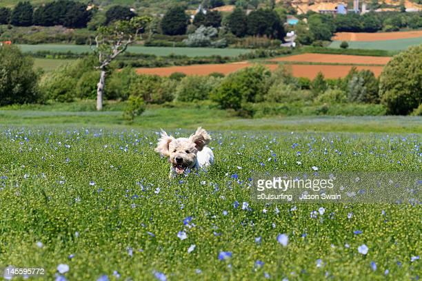 labrador retriever dog - s0ulsurfing 個照片及圖片檔