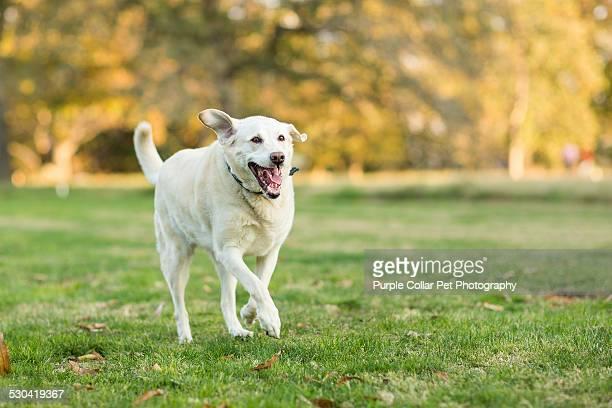 Labrador Retriever Dog Running Outdoors