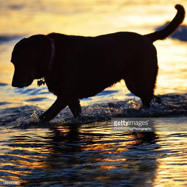 Labrador Retriever Dog Silhouette Sunset