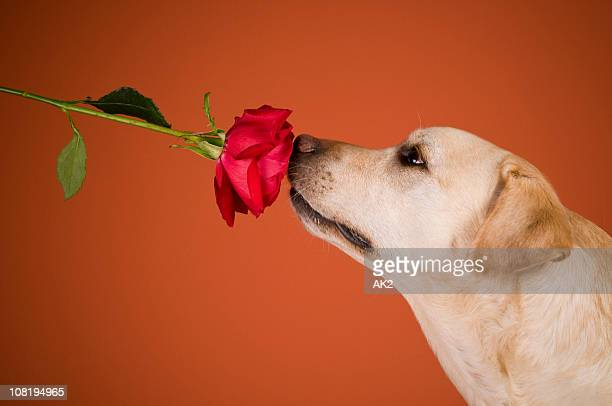 Labrador Retriever Dog Smelling Rose, Orange Background