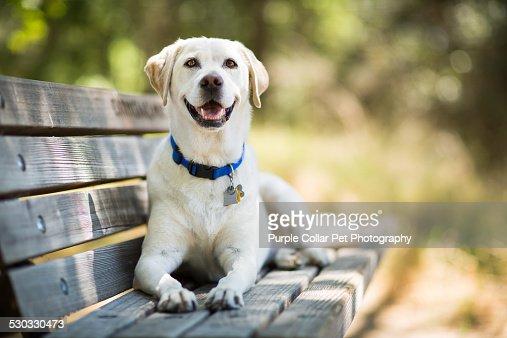 25 269 Labrador Retriever Photos And Premium High Res Pictures Getty Images